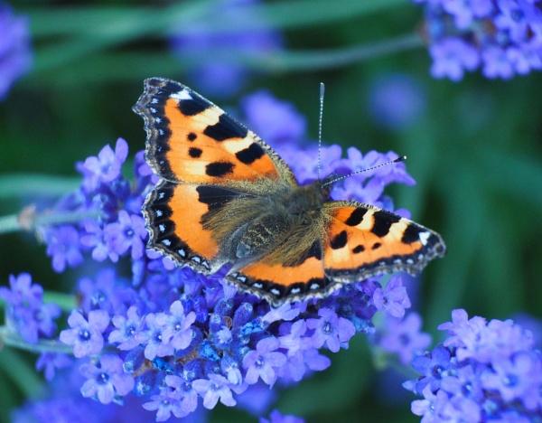 Butterfly - Small Tortoiseshell