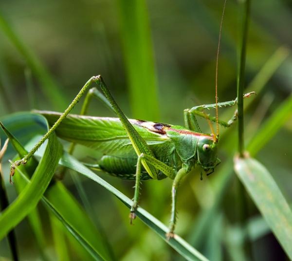 Grasshopper by Madoldie
