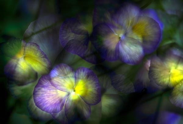 Violas by iangilmour