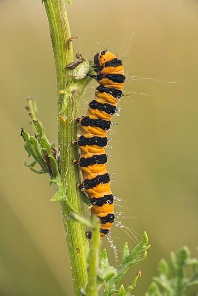caterpillar -cinnabar moth by alfpics