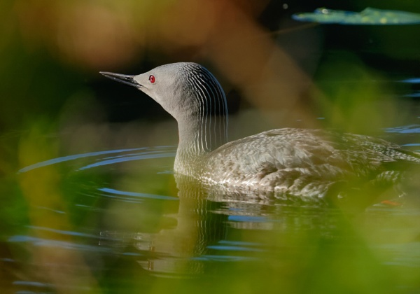 Red-throated diver in Luukki