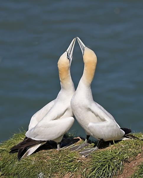 Dancing, beak to beak... by ladynewbury