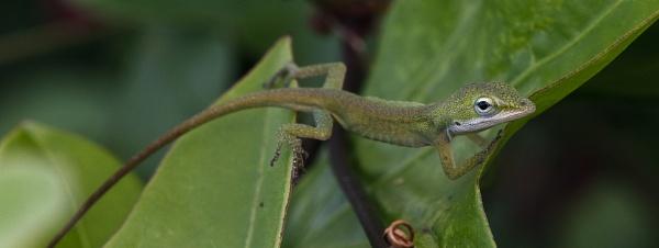 Green Lizard by BHSDallas
