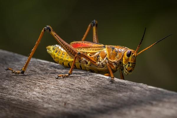 Eastern Lubber Grasshopper by DBoardman