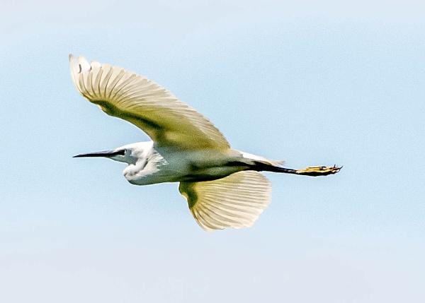 little egret in flight by madbob