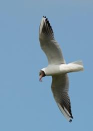 the black-headed gull