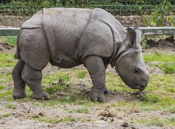 Rhino Calf by chensuriashi