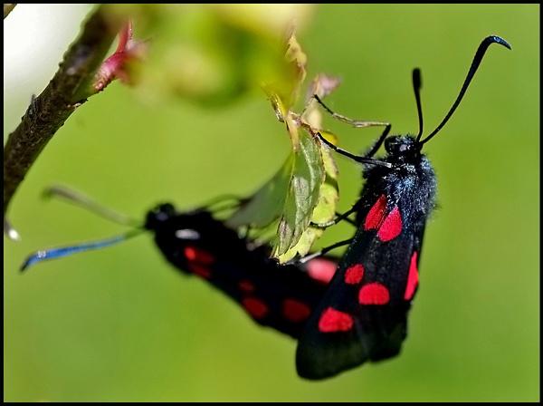 5 spot burnet moths 02. by Badgerfred