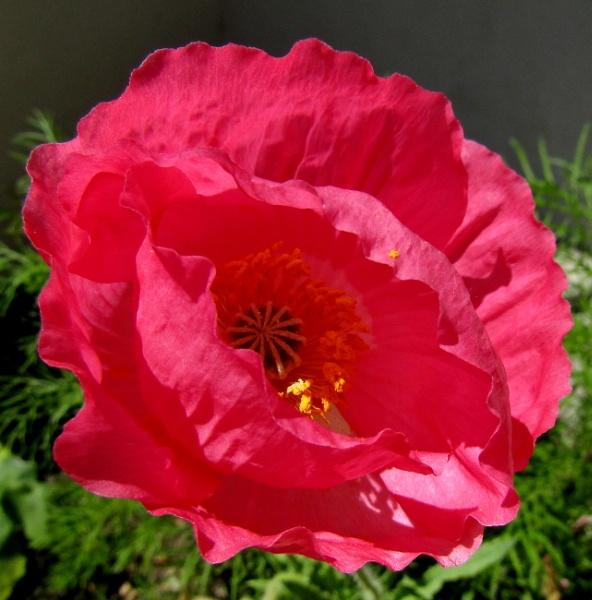 Garden Poppy by SUE118