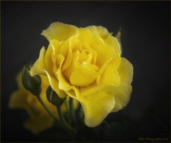 Yellow Rose by Daisymaye