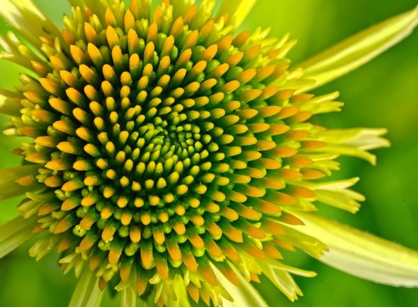 Echinacea Swirl
