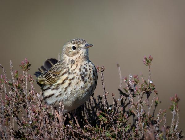 Meadow Pipit by jasonrwl