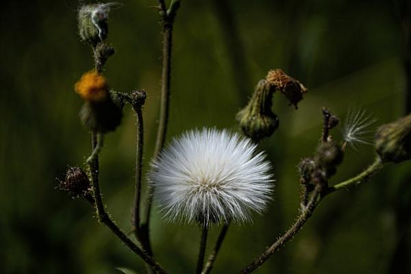 Dandelion  Herb or Weed by RSK