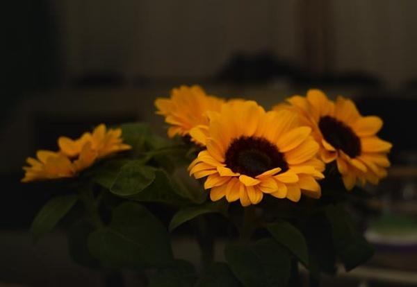 Sunflowers by HarrietH