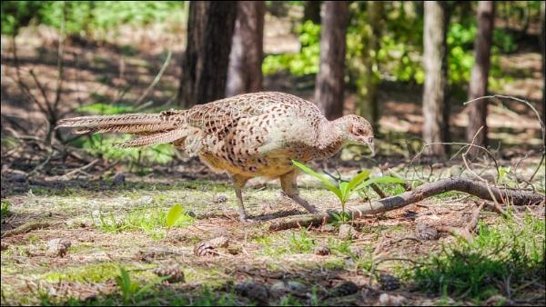 Hen Pheasant by Kilmas