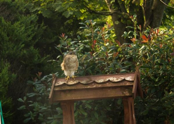 Fledgling Sparrow Hawk