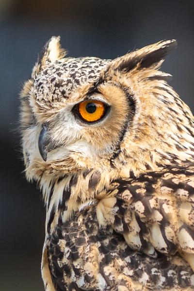 Long-eared owl by gouldii