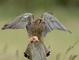 Female Kestrel With Kill