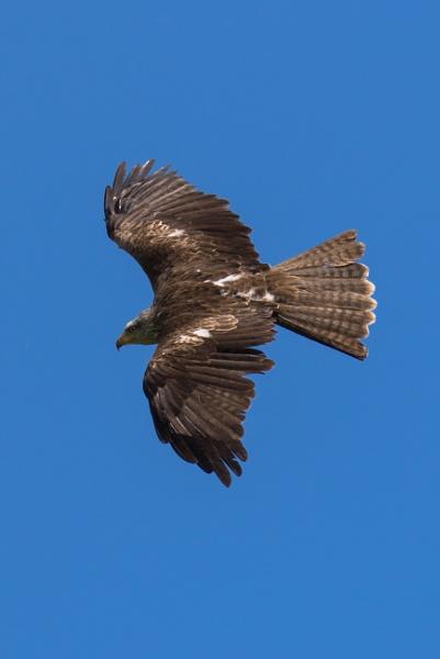 Black Kite in flight (6) by Trekmaster01