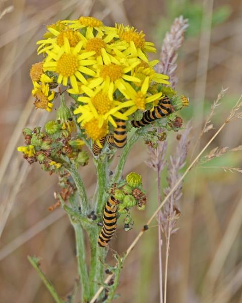 Cinnabar Moth Caterpillar by Ted447