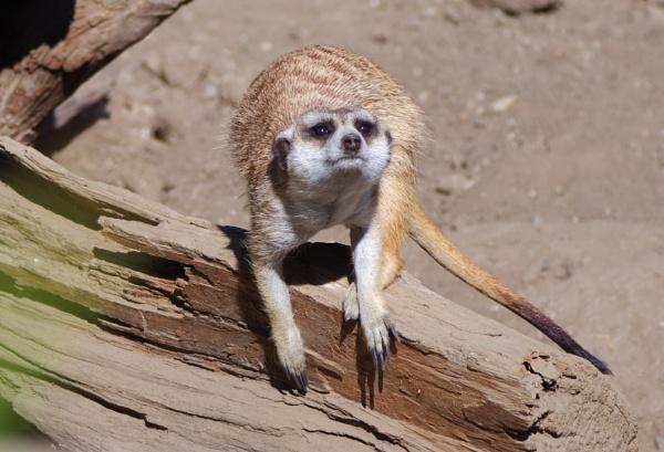 Meerkat at Santa  Barbara Zoo by louneson