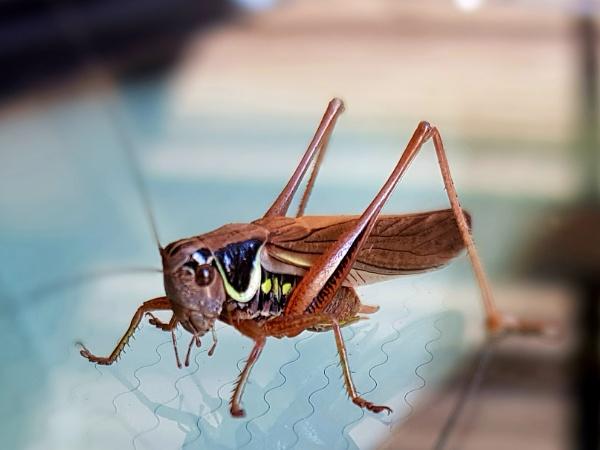 Roesels bush cricket by chrisbryan
