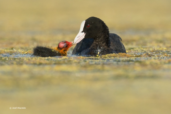 Eurasian coot (Fulica atra) by lord_macedo