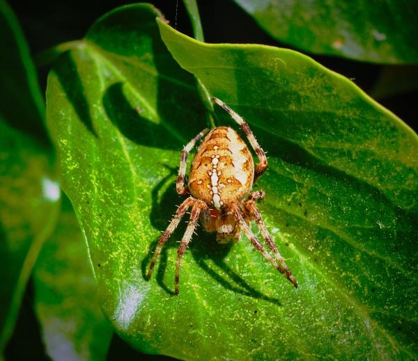 Cross Spider by DaveRyder