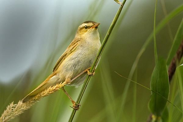 Sedge Warbler-Acrocephalus schoenobaenus by bobpaige1
