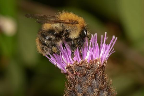 Bee on knapweed by kip55