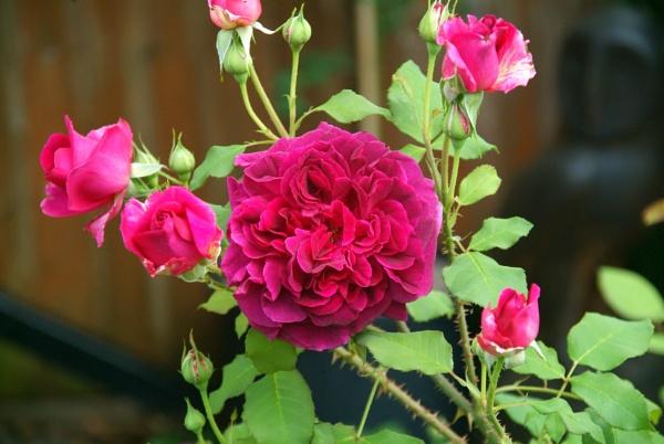 """A David Austin \""""Munstead Wood\"""" Shrub Rose. by GeeJoe"""