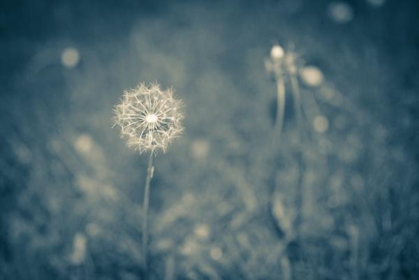 Dandelion by KrazyKA