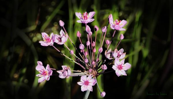 FLOWERING-RUSH Butomus umbellatus