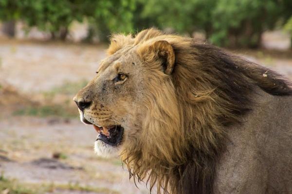 Lion by philstan