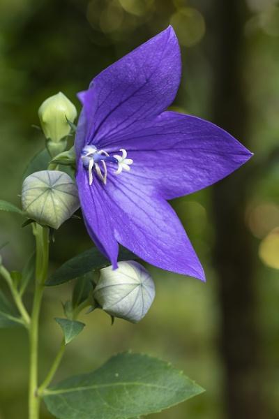 Ballonblume (Platycodon grandiflorus) (Campanulaceae) by mongol