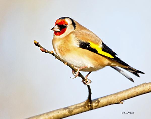 Goldfinch ( Carduelis carduelis ) by DaveNewbury