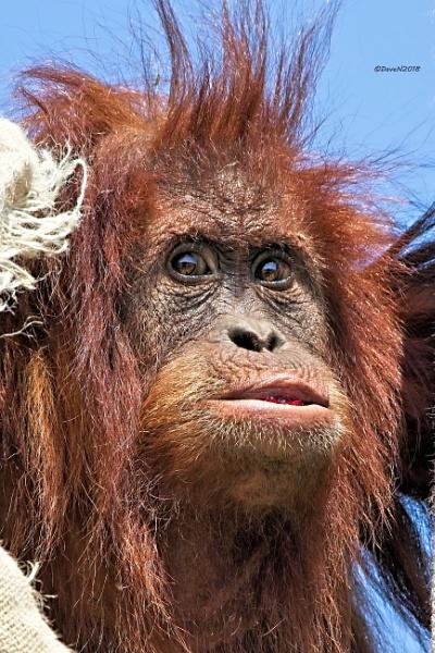 Sumatran Orangutan by DaveNewbury