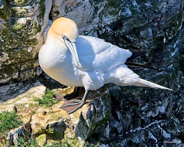 Gannet nesting site by DaveNewbury