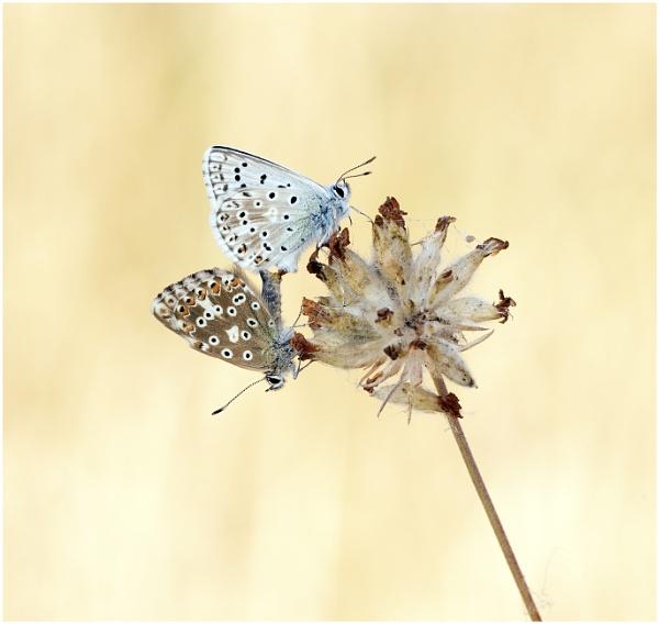 Chalkhill blue (Polyommatus coridon) by KasiaB