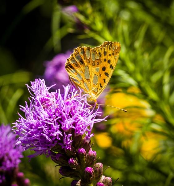 Butterfly by WioletaJ