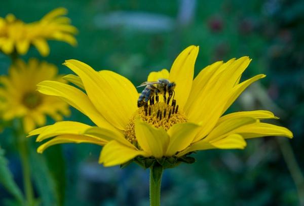 Bee on flower by WioletaJ