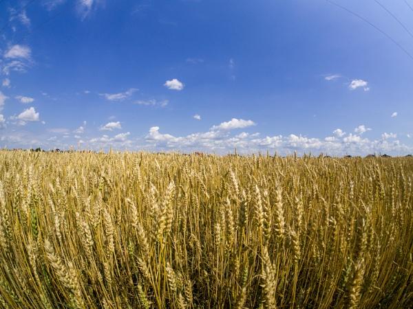Cereal field by WioletaJ