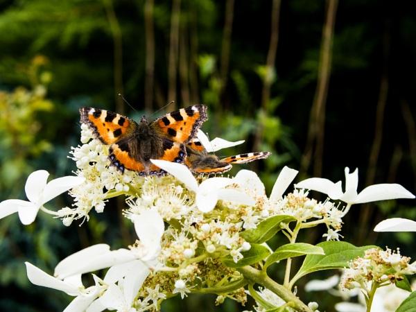 Butterflies on flower by WioletaJ