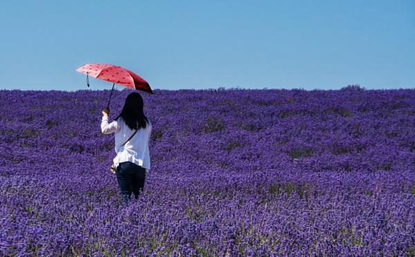 Lavender by dven