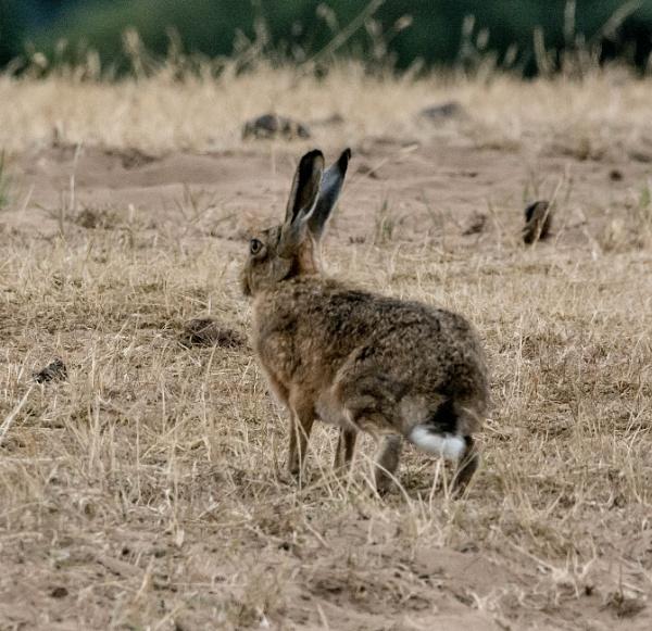 hare by madbob