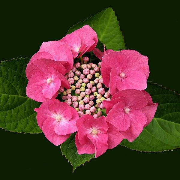 Pink Lacecap Hydrangea by pamelajean