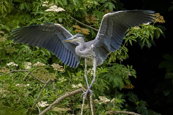 Ballet Heron by chensuriashi