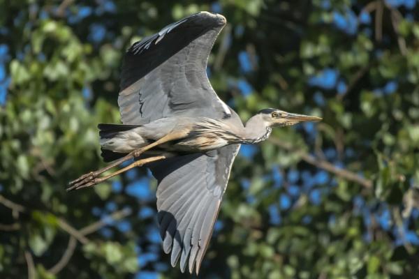 In Flight Heron by chensuriashi
