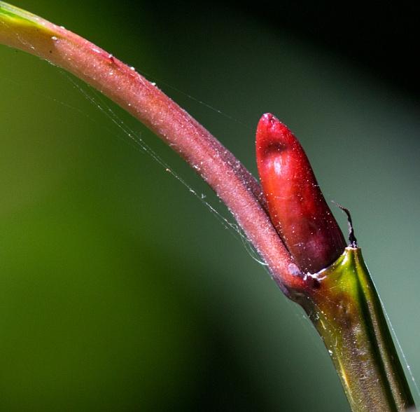 Red bud by oldgreyheron