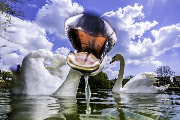 Swan by sitan1
